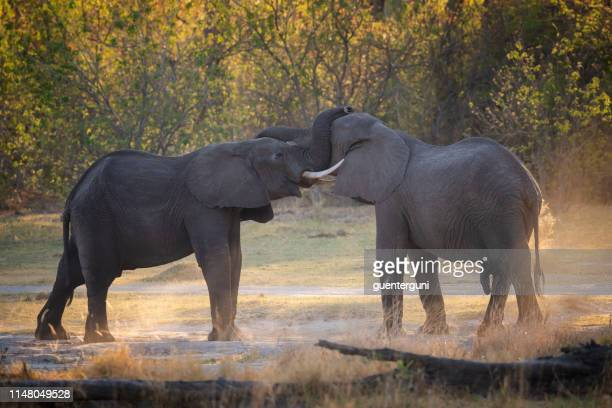 fighting elephants at sunset, okavango delta, botswana, africa - moremi wildlife reserve stock photos and pictures