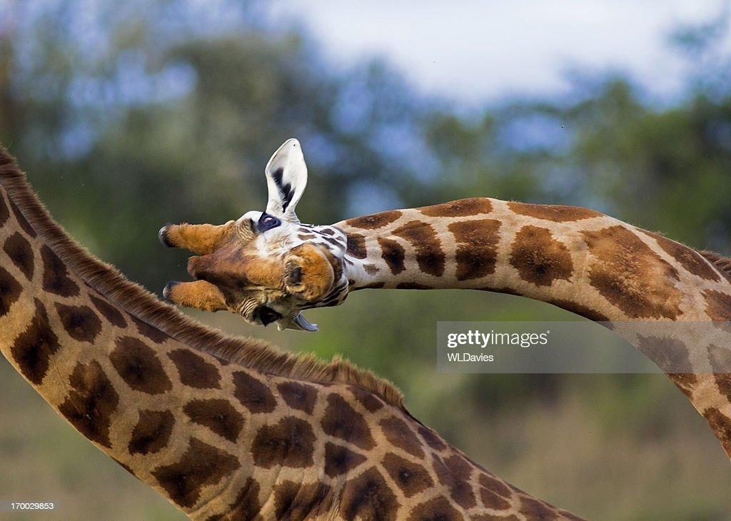 Fighting Giraffe : Stock Photo