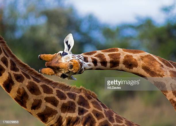 fighting giraffe - flexibility stock pictures, royalty-free photos & images