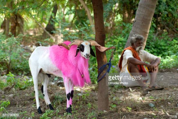 fighting goat and owner kidaai muttu, madurai, tamil nadu, india - hairy old man stock pictures, royalty-free photos & images