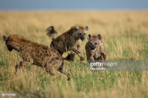 fighting hyenas, masai mara game reserve, kenya - spotted hyena stock pictures, royalty-free photos & images