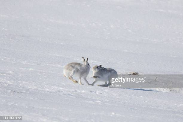 Fighting mountain hare / Alpine hares / snow hare female in white winter pelage fending off male in the snow