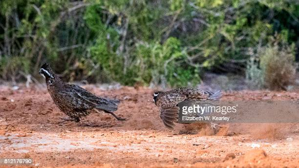 fighting quails - quail bird stock photos and pictures