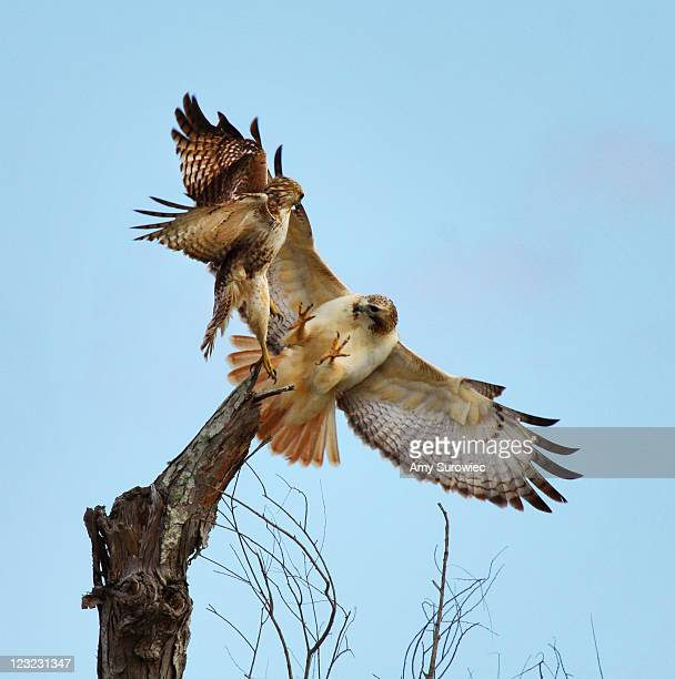 fighting red tailed hawks - red tailed hawk stock photos and pictures