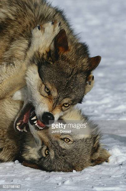 Fighting Timber Wolves