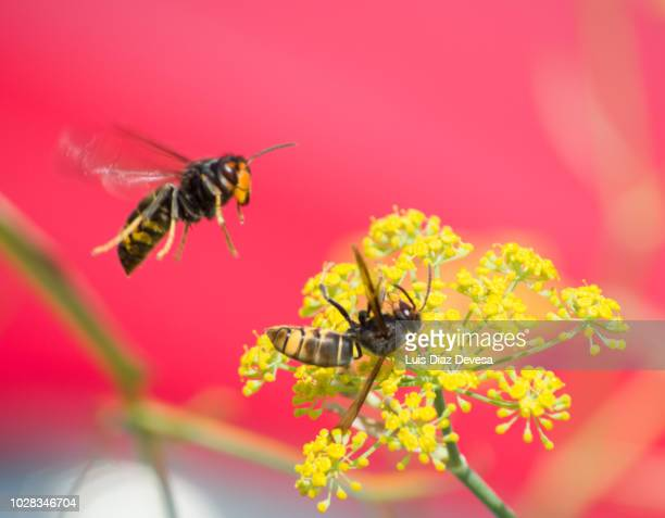 fighting vespula velutina on harbouria trachypleura (asian hornet) - asian hornet stock pictures, royalty-free photos & images