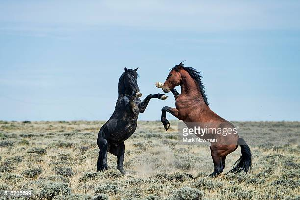 fighting wild horses - animals in the wild stock pictures, royalty-free photos & images