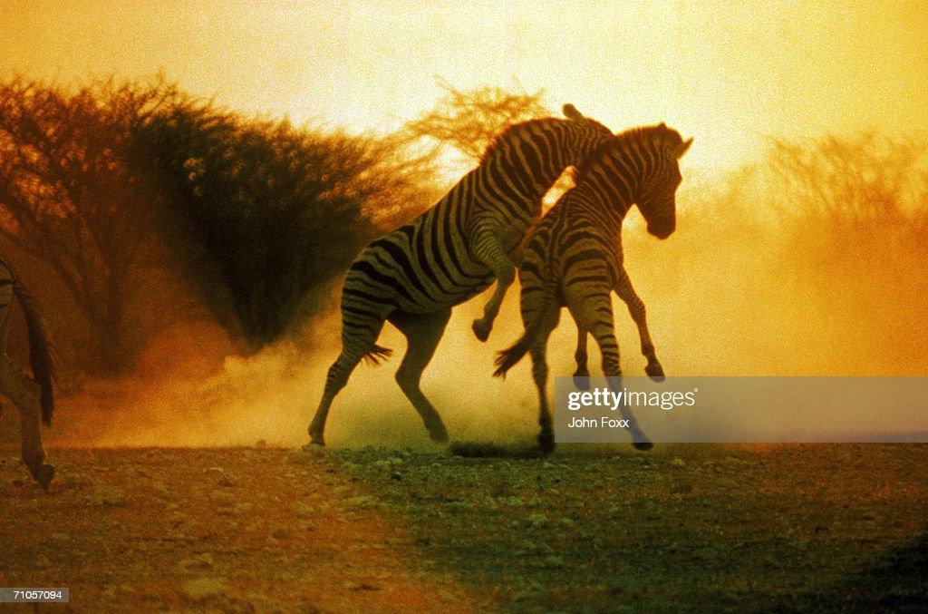 fighting zebras : Stock Photo