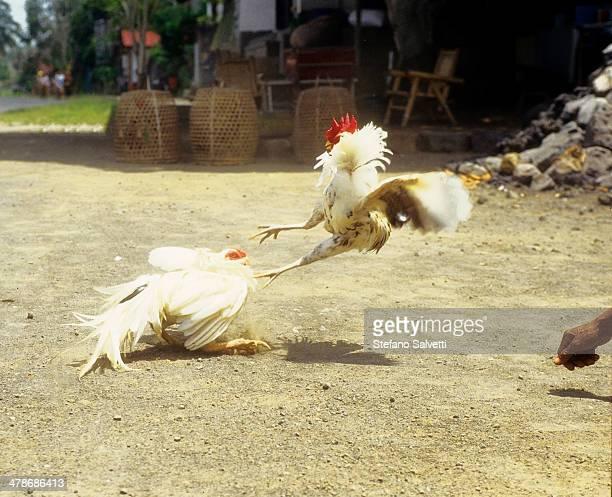 Fighting-cocks in Bali