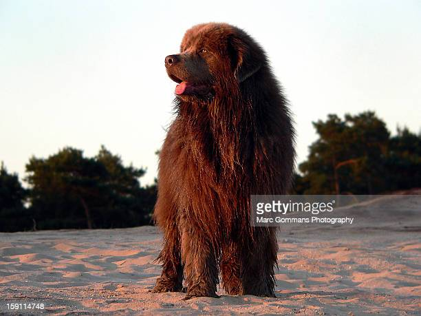 figo a brown newfoundlanddog 2yrs - newfoundland dog stock photos and pictures