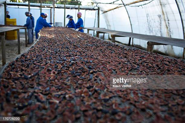 Figs lies to dry at fruit farm
