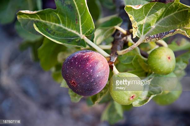 figs - fig tree stock pictures, royalty-free photos & images