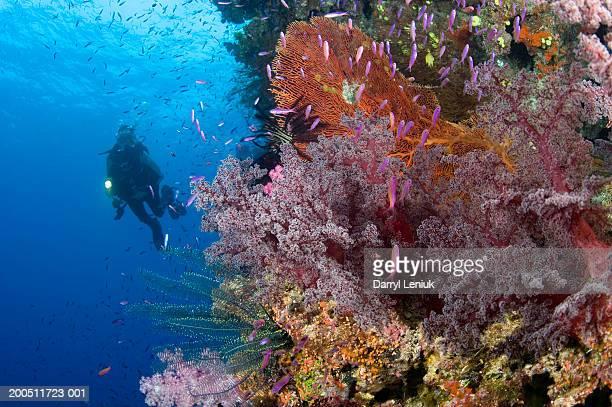 Fiji, female scuba diver beside coral reef, underwater view