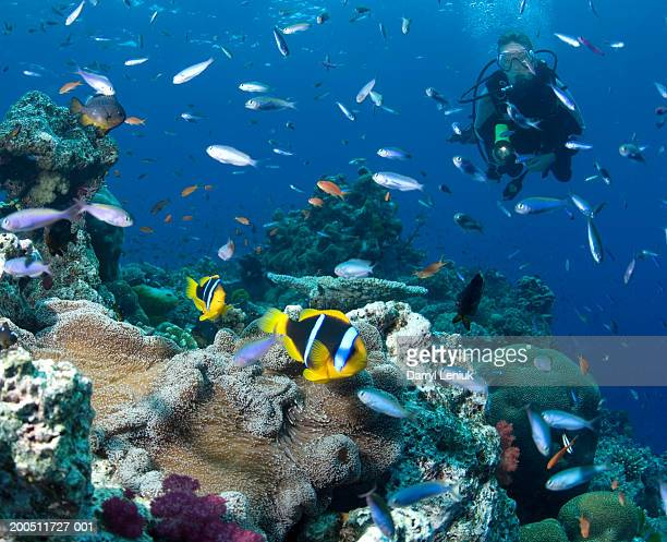 Fiji, female scuba diver watching anemonefish, underwater view