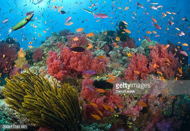 fiji, vanua levu island, fish and coral reef, underwater view - reef stock pictures, royalty-free photos & images