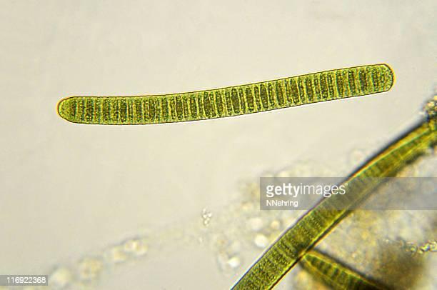 filamentous cyanobacteria, Oscillatoria species, micrograph