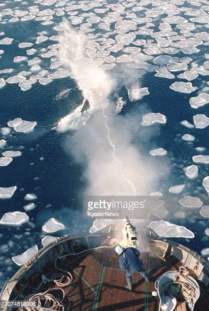File photo taken in February 1987 shows a Japanese whaling ship hunting for whales in the Antarctic Ocean Japan has decided to withdraw from the...