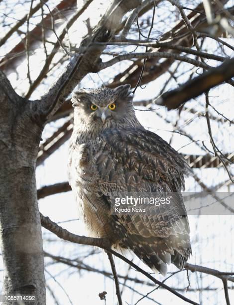 File photo taken in November 2016 shows a Blakiston's fish owl listed as endangered perching on a branch at the Environment Ministry's habitat...