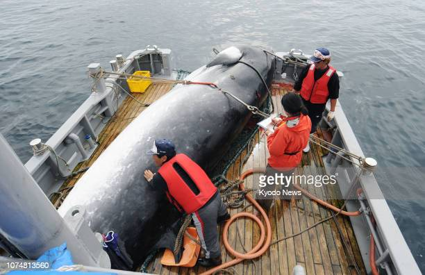 File photo taken in September 2013 shows a minke whale caught in the sea off Kushiro Hokkaido under Japan's research whaling program Japan has...
