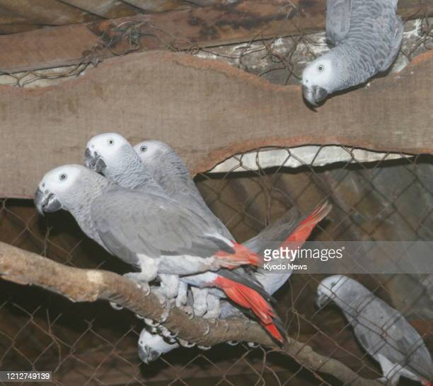 File photo taken in September 2013 shows African gray parrots in the Democratic Republic of Congo.