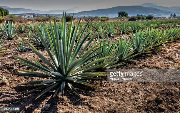 Agave Field Stock Pictures Royalty Free Photos Images Getty