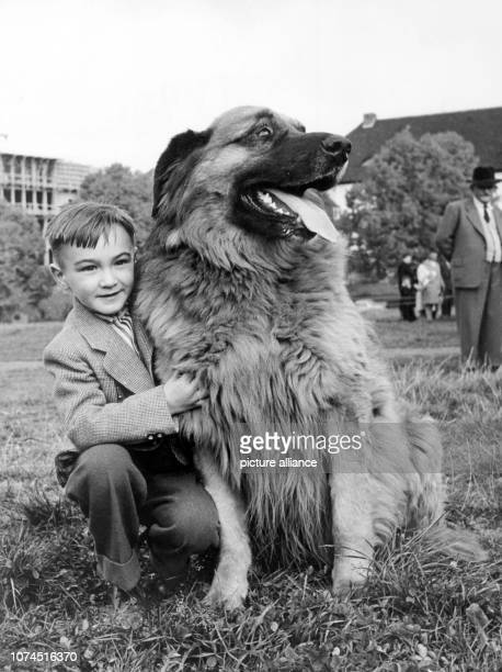 FILE A file picture dated 20 October 1956 shows a boy with a pedigree Leonberger dog near Stuttgart Germany The 110th anniversary of the Leonberger...