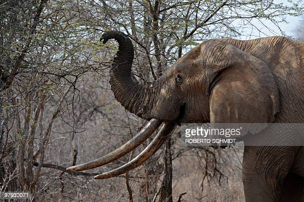 File picture dated August 21 2009 shows an elephant using its trunk to reach the upper branches of a tree over the dry brush as it searches for food...