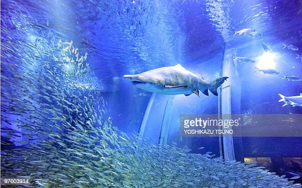 File picture of a shoal of 50000 sardines swimming around sand tiger sharks in a large fish tank during a press preview at the Hakkeijima Sea...