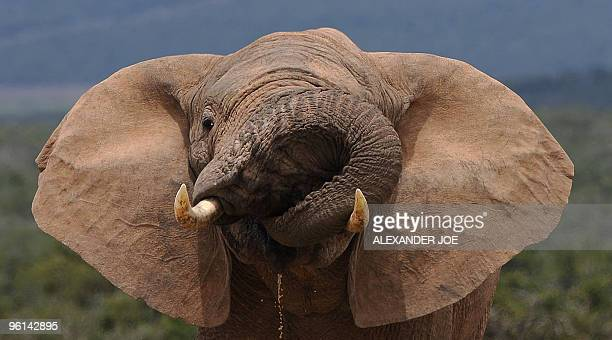 File picture of an African elephant drinking water in Addo Elephant National Park some 60 kms outside of Port Elizabeth on November 15 2009 Tourists...