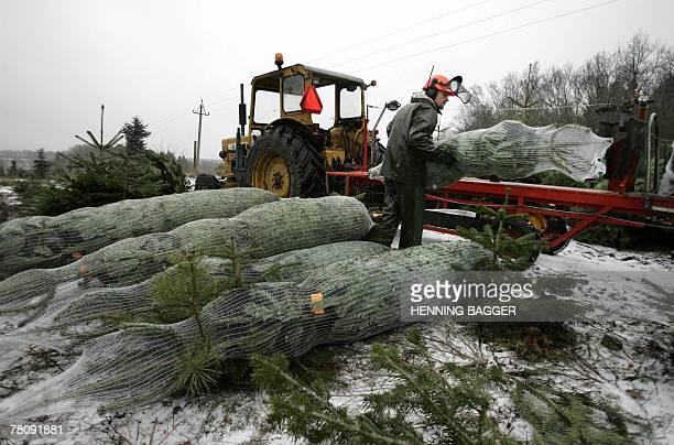 File picture taken 19 December 2005 shows Nordmann trees near Aalborg in Jutland westh of Copenhagen Denmark the world's top Christmas tree exporter...