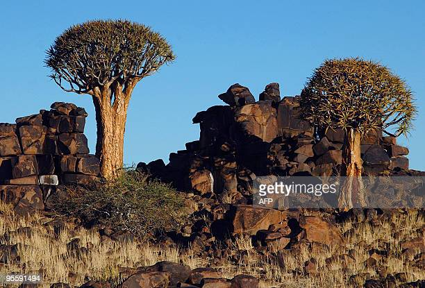 File picture taken on June 2009 in the province of Karas situated 200 kilometers southeast of Windhoek showing Quiver trees also locally known as...