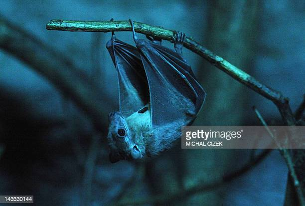 File picture taken on November 14, 2011 shows a bat hanging from a branch at the Troja Zoo in Prague. Scientists studying bats have found dozens of...