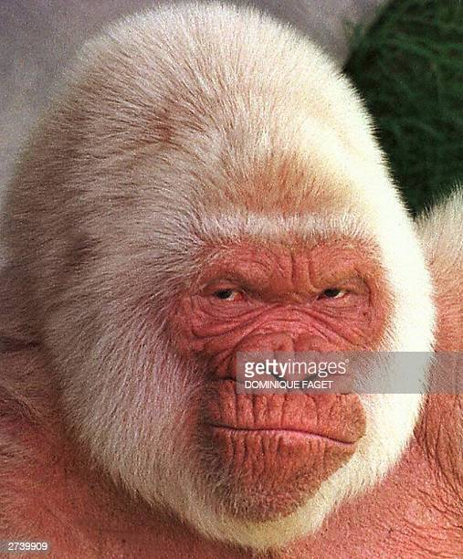 File portrait taken 26 May 1997 shows Copito de Nieve the only albino gorilla held in captivity at Barcelona zoo Spanish animal lovers are facing up...