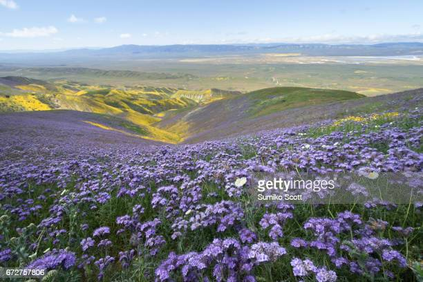Filed of Phacelia flower on top of Temblor Range, Carrizo Plain National Monumen, CA