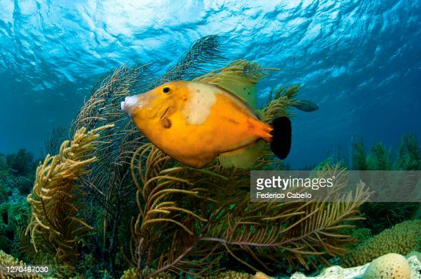 filefish, klein bonaire - klein stock pictures, royalty-free photos & images