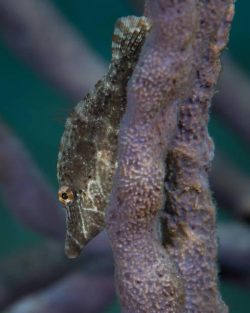 Filefish Underwater in the Bahamas