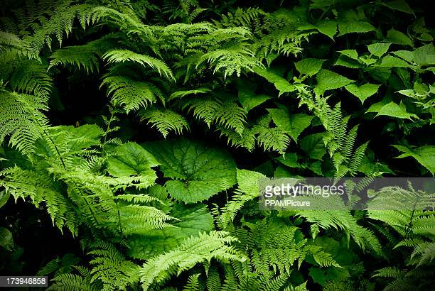 Filicopsida or Fern fronds