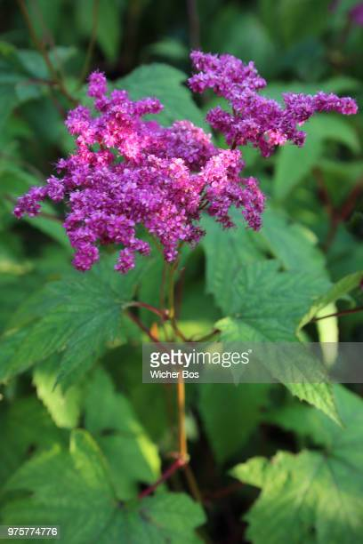 filipendula purpurea 'elegans' - bos stock pictures, royalty-free photos & images