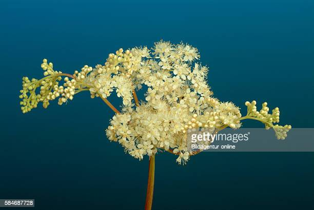 Filipendula ulmaria commonly known as meadowsweet or mead wort The whole plant is a traditional remedy for an acidic stomach and the fresh root is...