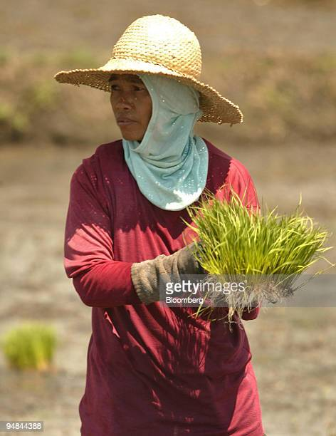 Filipina farmer plants rice seedlings in a freshly ploughed rice paddy in an agricultural area just outside of Manila Philippines June 22 2005