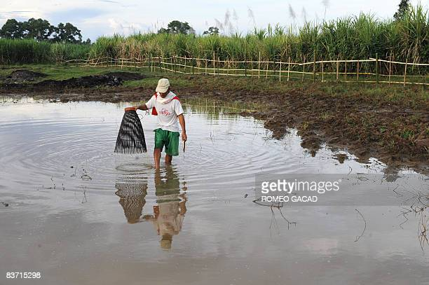 Filipino farmer Generoso Hesuna catches mudfish using a bamboo trap in a pool of water at a farm planted with rice and sugar in Santa Catalina town...