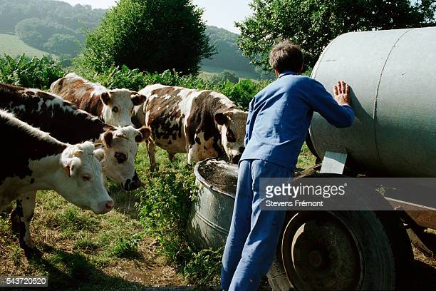Filling a trough with feed for cows   Location Courdemanche France