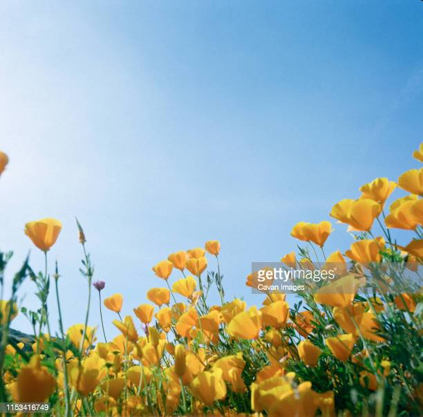 film bright golden california poppy landscape looking up at blue sky - california golden poppy stock pictures, royalty-free photos & images