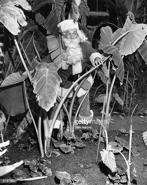 Film star and crooner Bing Crosby in a Santa Claus outfit hiding among the plants in the grounds of the Beverly Hills Hotel where an event was held...