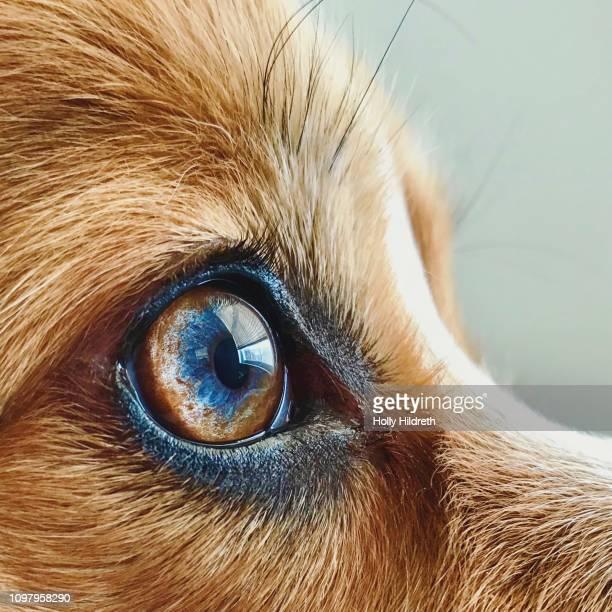 filtered macro of corgi dog eye - macro animal photos et images de collection
