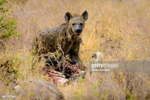 filth - bush dog stock pictures, royalty-free photos & images