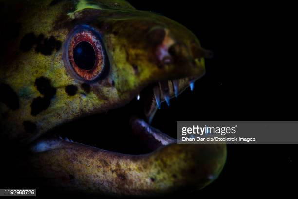 a fimbriated moray eel opens its jaws. - rinca island stock pictures, royalty-free photos & images