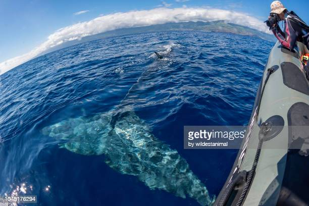 Fin whale swimming just under the water surface alongside a boat.