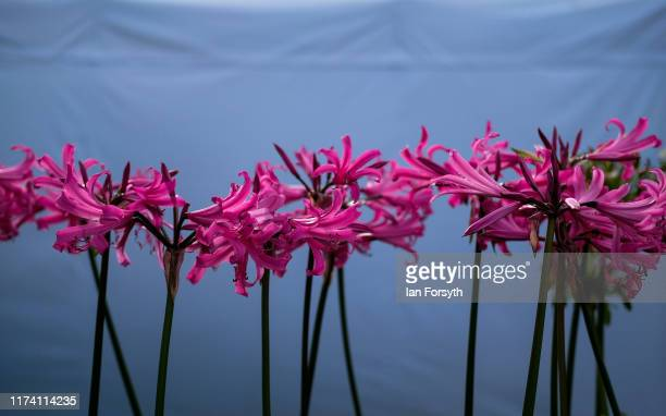 Final preparations are made during staging day for the Harrogate Autumn Flower Show on September 12 2019 in Harrogate England The UK's premier Autumn...