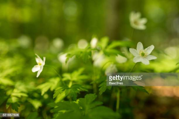 Finally Spring Again - Wood anemone